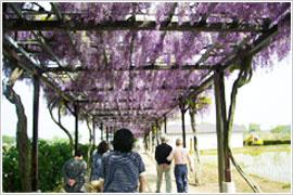 藤の花を見に散策
